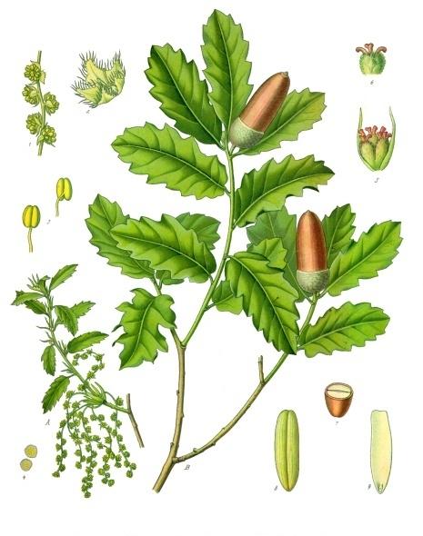 acorn oak